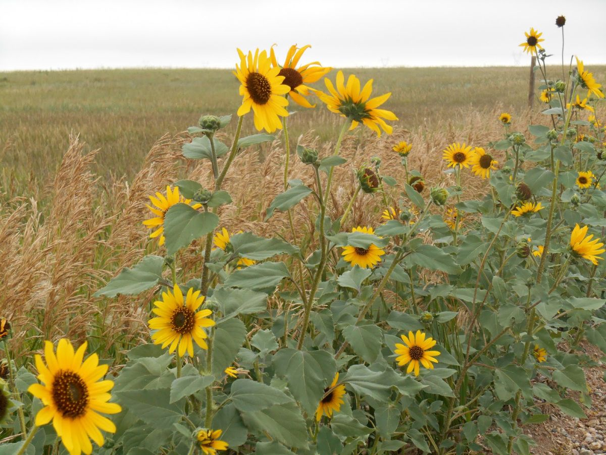 It S Those Wild Sunflowers That Grow On The Side Of The Road Wild Sunflower Kansas State Flower Flower Seeds