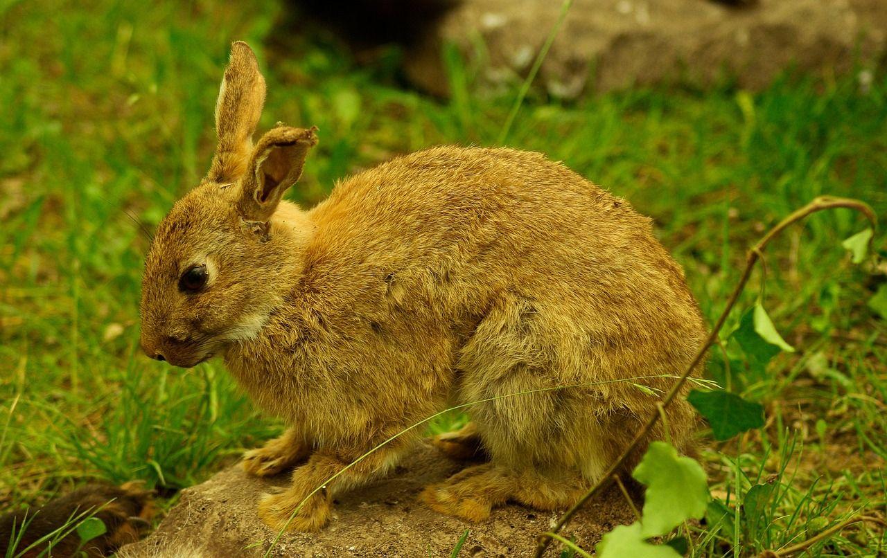 Free image on pixabay rabbit game hunting rabbit