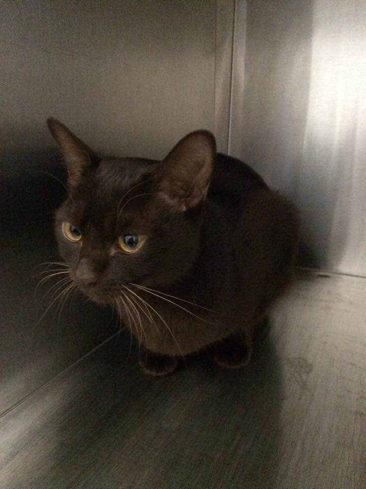 This Cat Was Found On 17 05 16 From Joffre Ave Edithvale Vic For Further Information Please Call The Lost Dogs