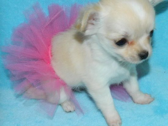 White Teacup Chihuahua Puppy With Pink Tutu Chihuahua Puppies