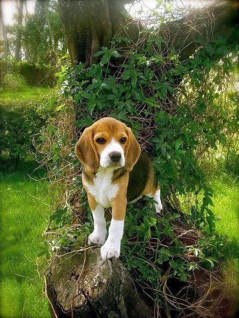 Pin By Samantha Gruver On Oliver Cute Beagles Dog Breeds