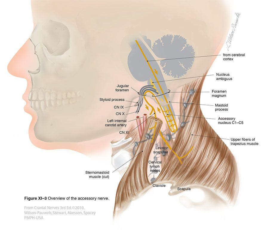 Accessory XI - Cranial Nerves | Anatomy | Pinterest | Anatomía