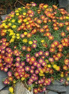 Winterharte Balkonpflanzen Mittagsblumen Delosperma