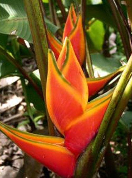 Plante exotique int rieur plantes exotiques for Plante interieur exotique