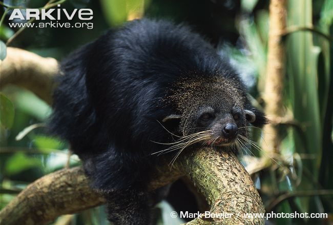 Binturong resting on tree branch Binturong (Arctictis binturong)