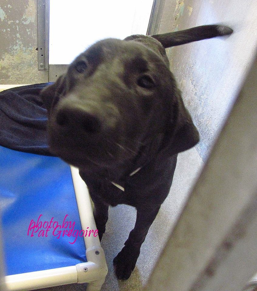 A4787501 I am a very friendly 1 yr old black male Labrador Retriever. I came to the shelter as a stray on Dec 28. available 1/3/15. Baldwin Park shelter https://www.facebook.com/photo.php?fbid=899376776740827&set=a.705235432821630&type=3&theater