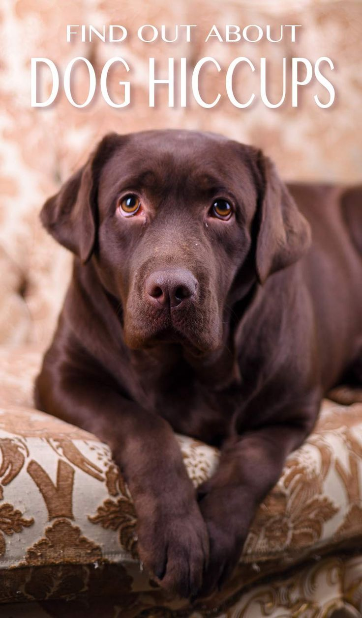 Dog hiccups why do they happen and how to get rid of
