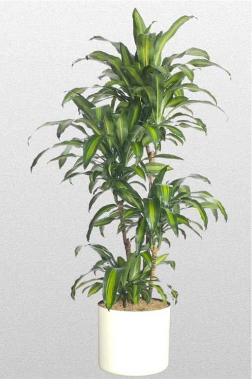 Dracaena Mass Cane Hawaiian Cane Large Indoor Plants Corn Plant
