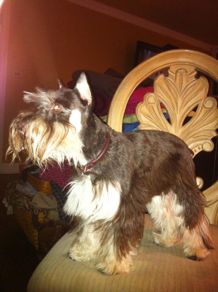 Lost Dog Northport Al Area Our Minature Schnauzer 5 Lb Adult