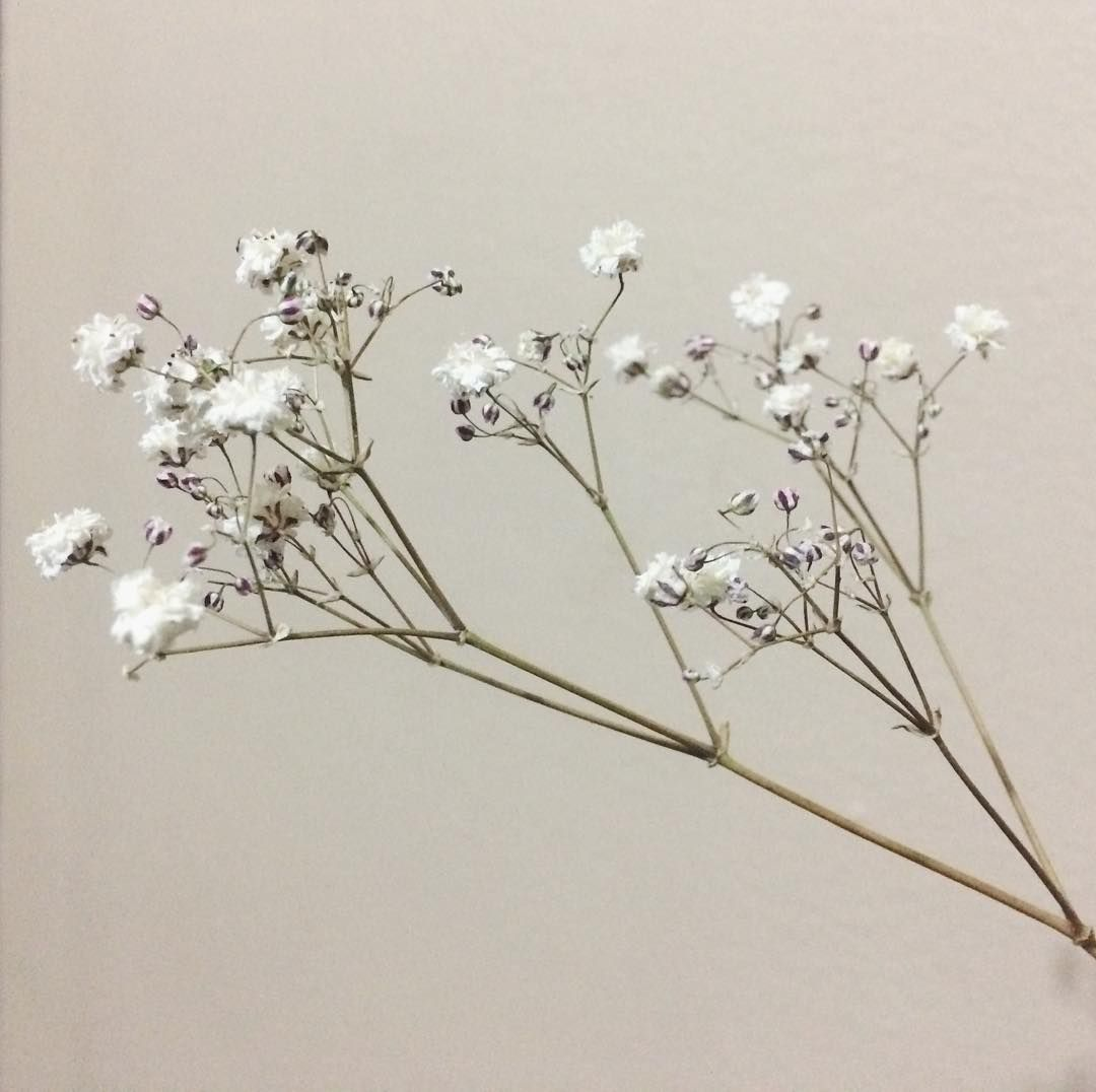Baby S Breath Gypsophila Paniculata 5 Of The Most Adorable Flowers That Start With B Garden Gardening Gypsophila Flower Flower Clubs Gypsophila