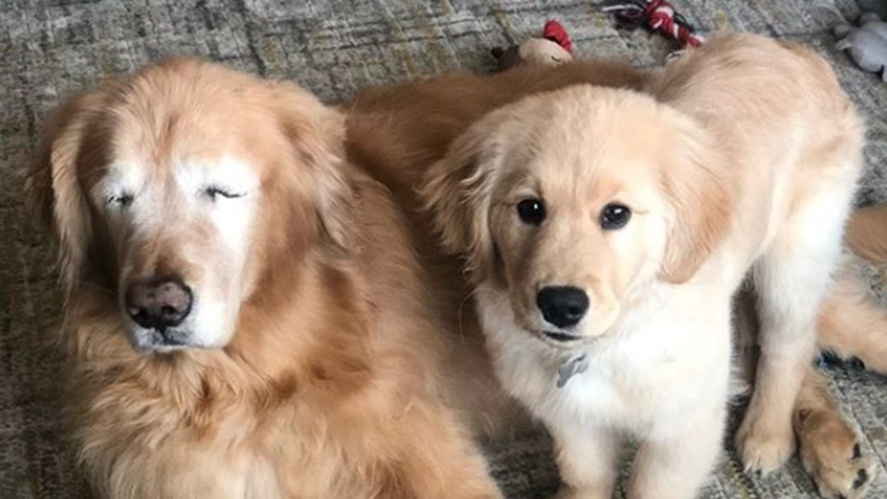 Senior Dog Gets Seeing Eye Puppy After Losing Eyesight With Images Old Golden Retriever Blind Dog Golden Retriever