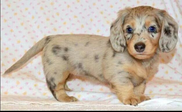 Cute Looks Like A Chocolate Chip Cookie Dachshund Puppies