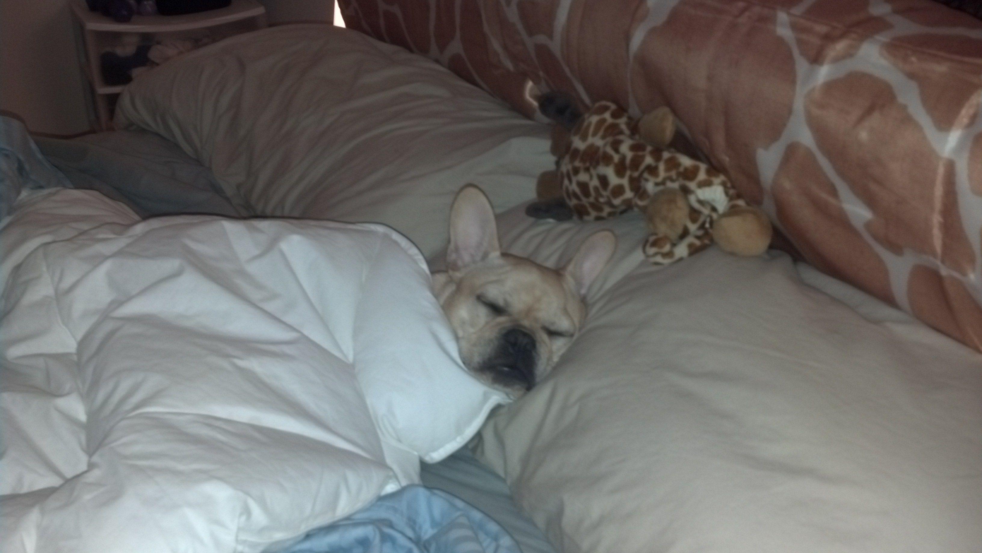 My Sleepy French Bulldog Figaro French Bulldog Bulldog Sleepy