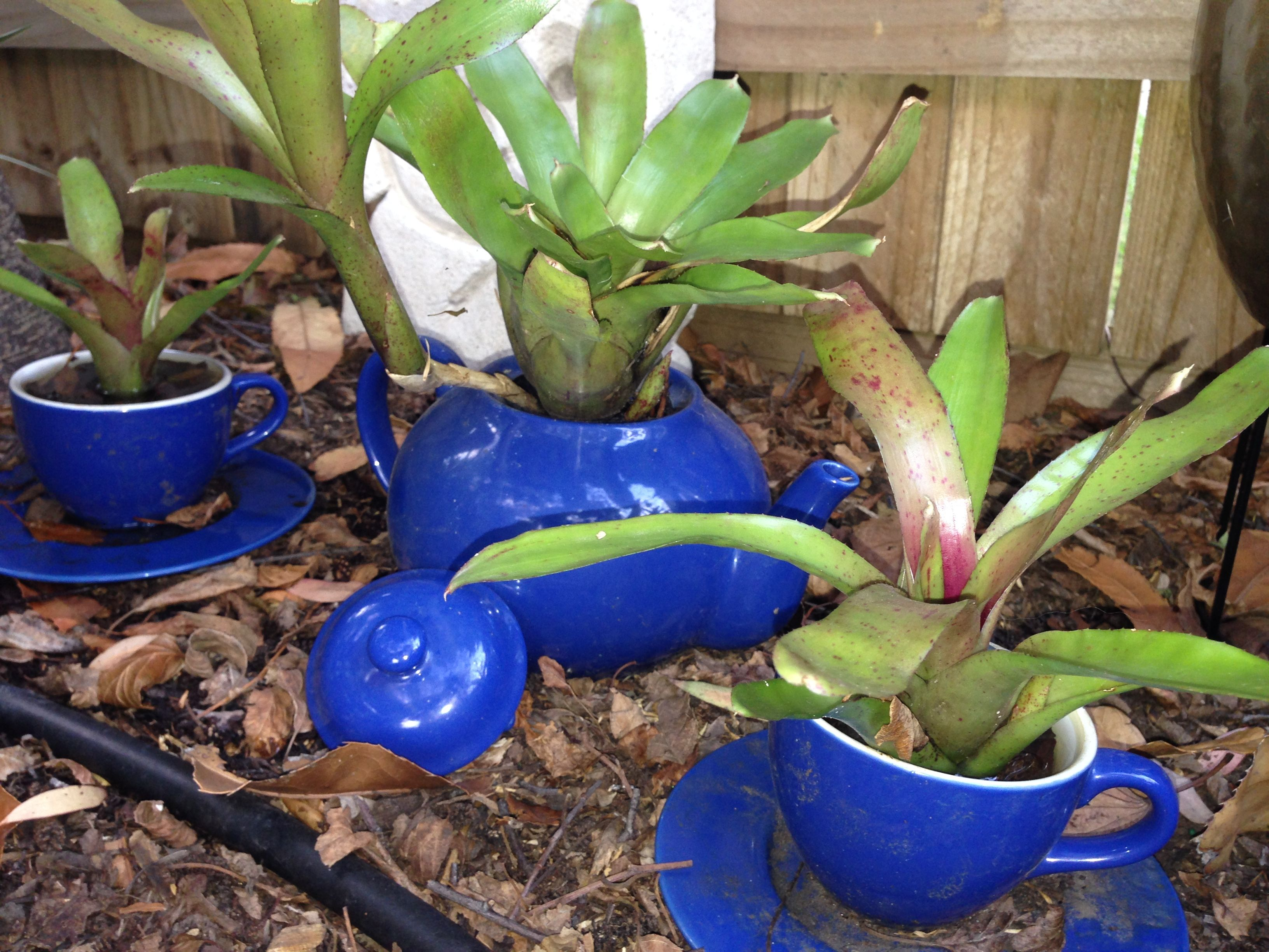 Neoregilia tea set my bromeliad art pinterest