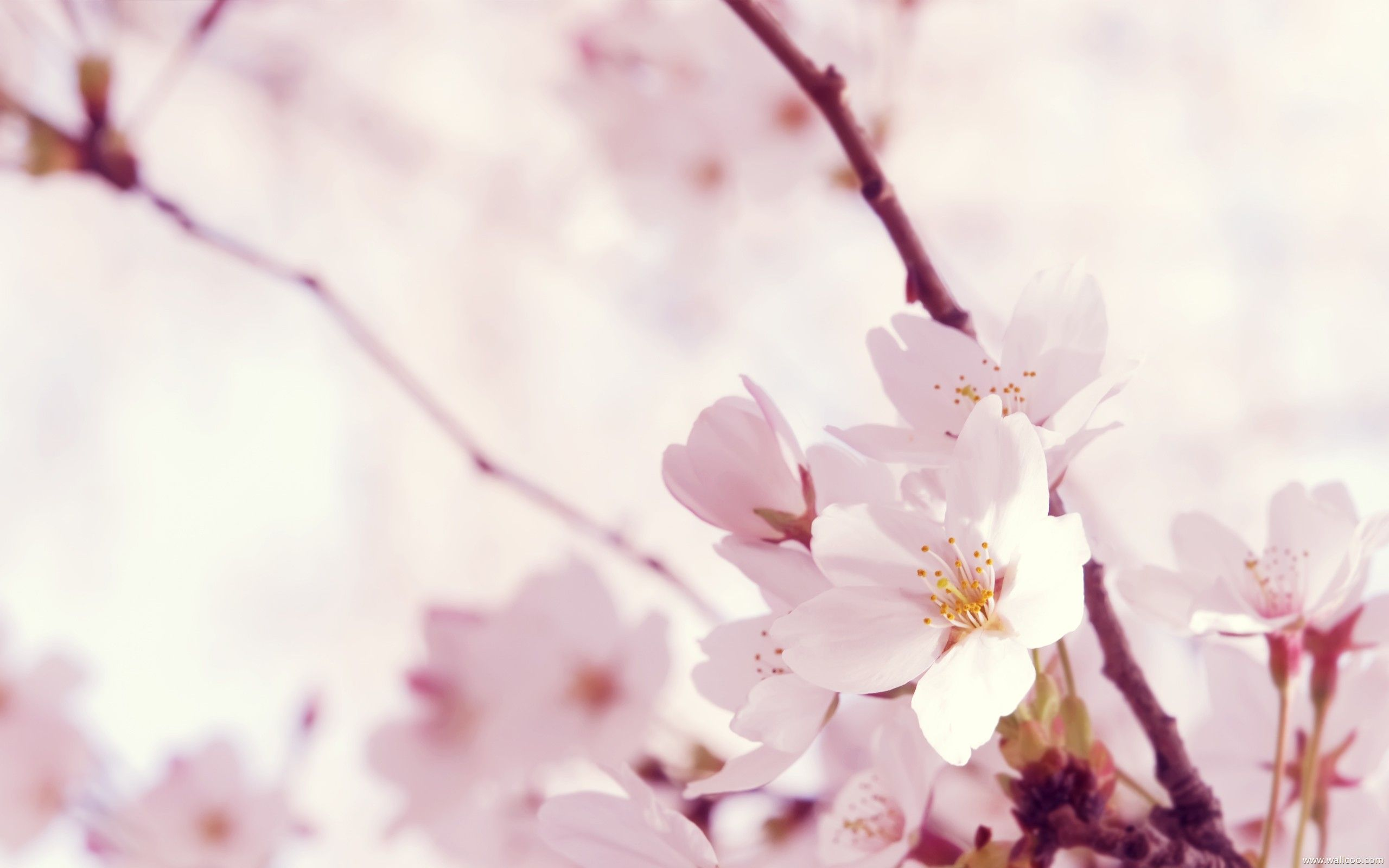 sakura flower image wallpaper | 3D-HD Wallpaper | Pinterest | Flower ... for Light Pink Flower Wallpaper  174mzq