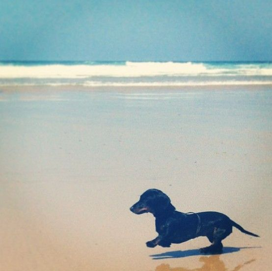 Dachshund On The Beach Dachshund Dachshund Lovers Dachshund Dog