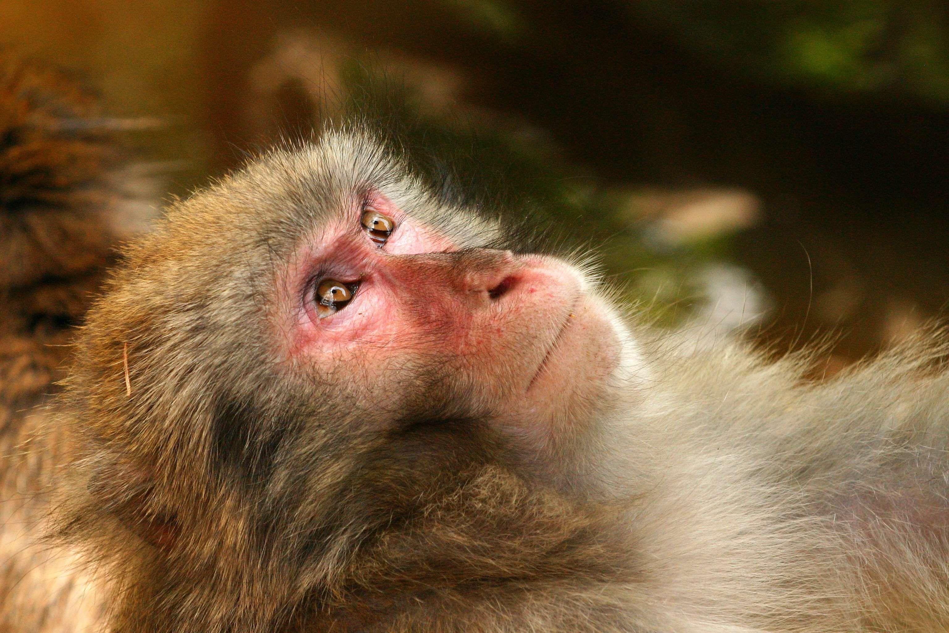 Лохматые обезьяны картинки