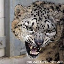 """Résultat de recherche d'images pour """"Felins agressifs"""""""