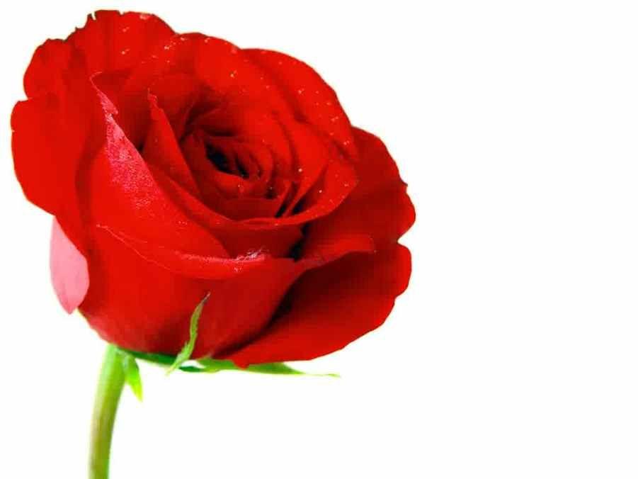 Aneka Gambar Bunga Mawar Yang Spesial Pernik Dunia Bunga Ros Pinterest
