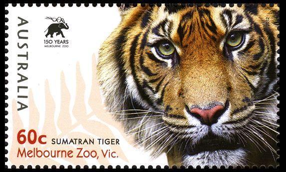 Click to enlarge Melbourne zoo, Sumatran tiger