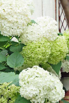 紫陽花アナベルをお庭で育てて ドライをいっぱい作ってみませんか 前編 園芸学 お庭 あじさい ブーケ