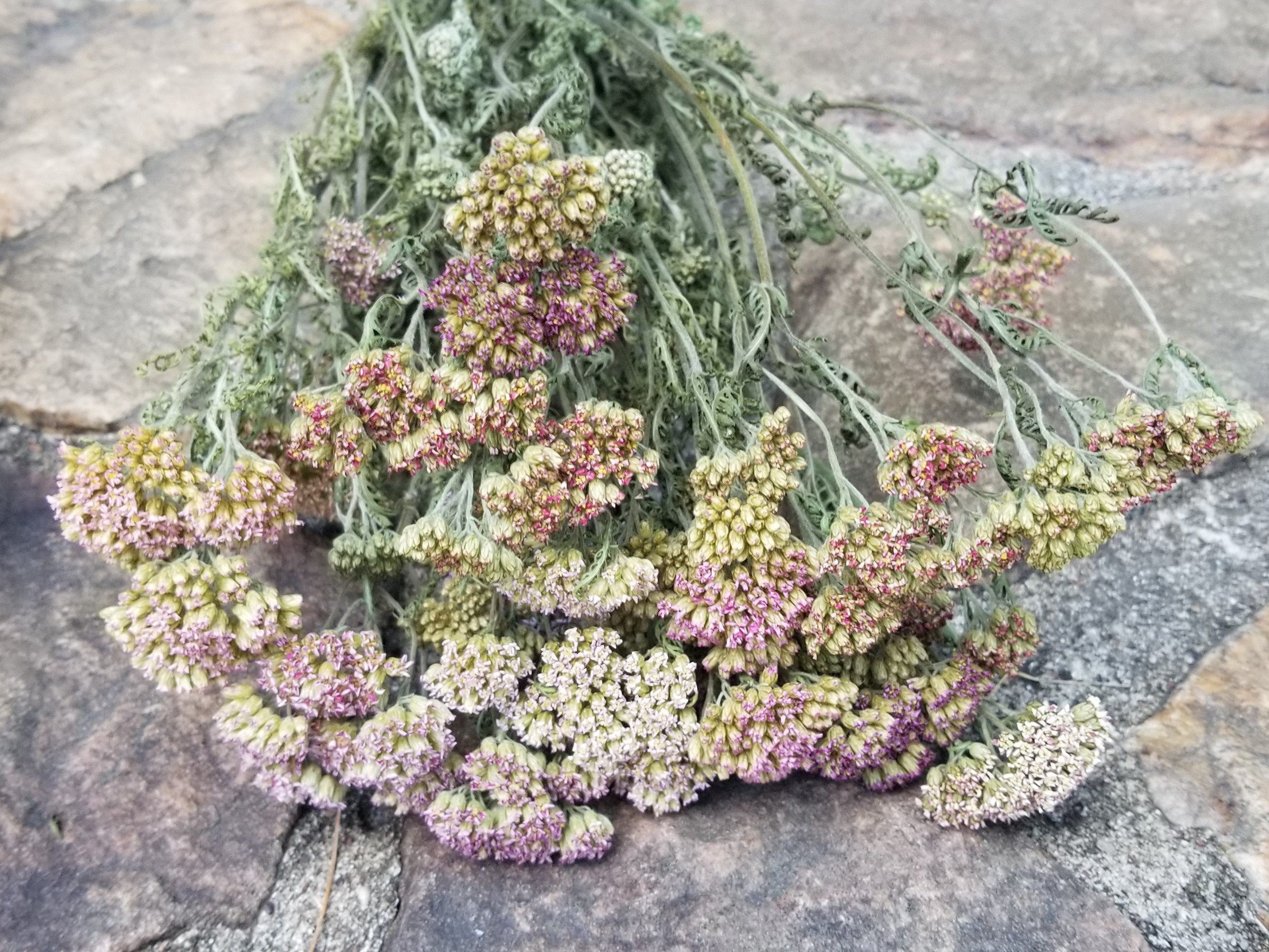 Lavender Yarrow Dried Yarrow Purple Yarrow Dried Flowers Wildflowers Flower Bunch Flower Bouquet Achillea Millefolium Wild Herb Dried Flowers Dried Flower Bouquet Bunch Of Flowers