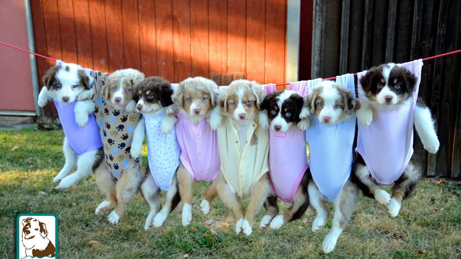 Puppies Australian Shepherd Puppies Australian Shepherd Puppies Aussie Puppies Fluffy Animals