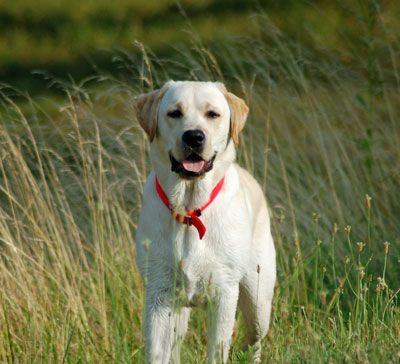 American Yellow Labs Goldenacresdogs