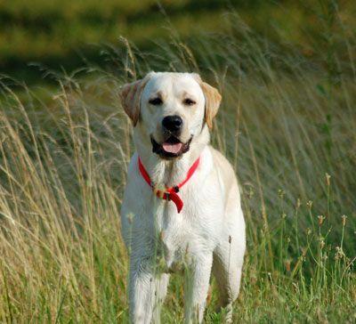 American Yellow Labs Goldenacresdogs