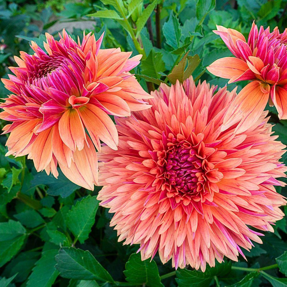 Dahlia Libeccio National Garden Bureau Plants Planting Bulbs Summer Bulbs