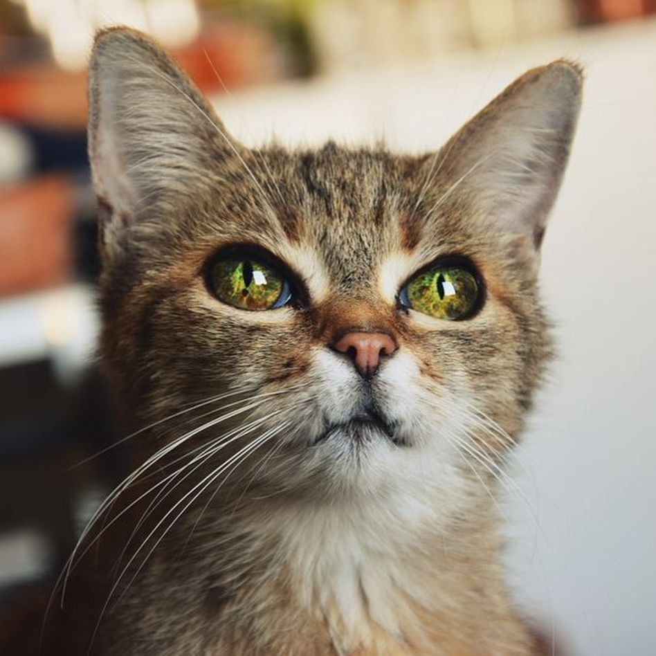 A Cat With Dragon Eyes Iizcat Catsofinstagram Cats Cute Cats Cats And Kittens