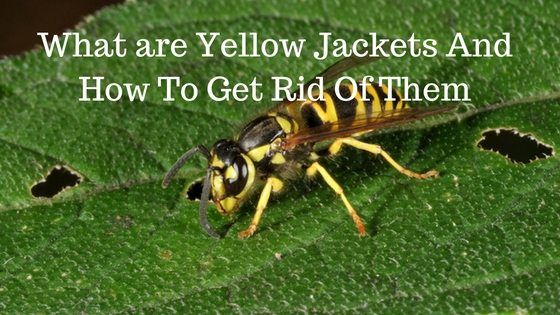 What Are Yellow Jackets And How To Get Rid Of Them Yellow Jacket Yellow How To Get Rid