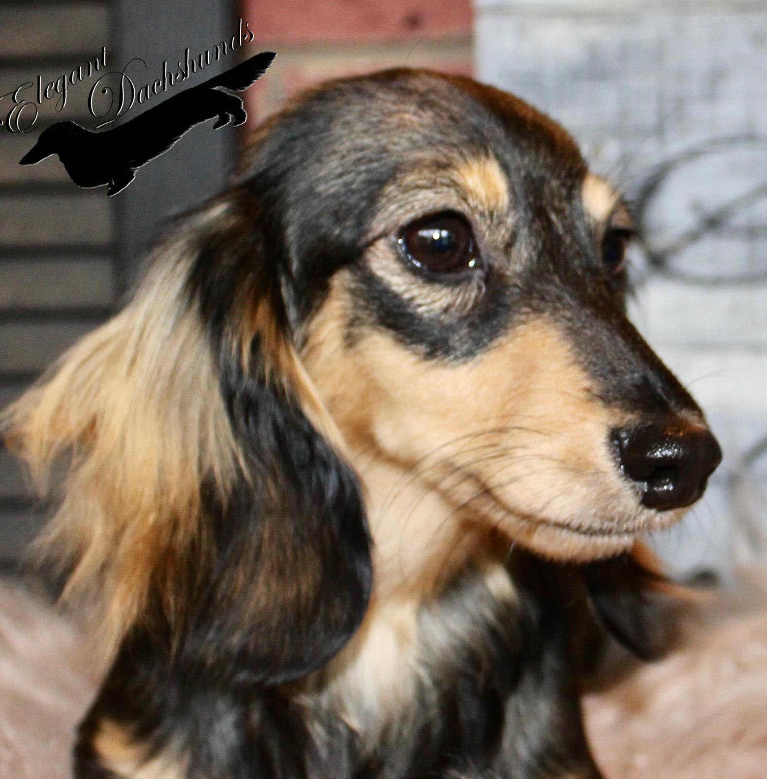 Cream Sable Longhair Elegant Dachshunds Long Haired Dachshund Dachshund Weiner Dog