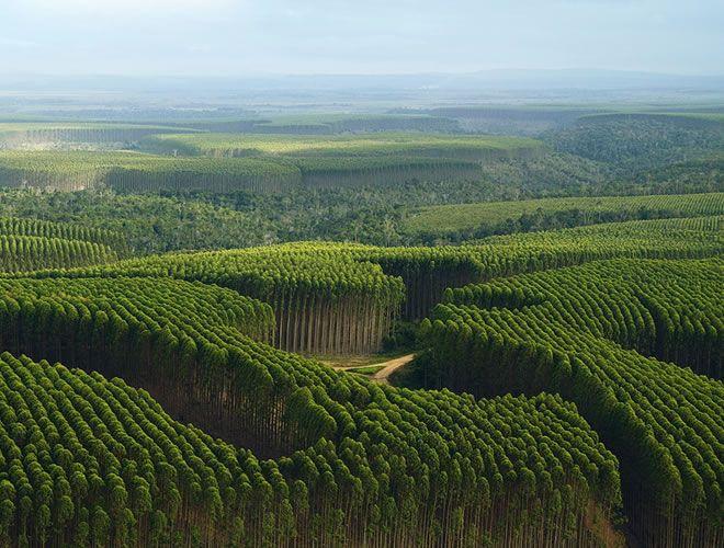 Eucalyptus Floresta Nacional Floresta