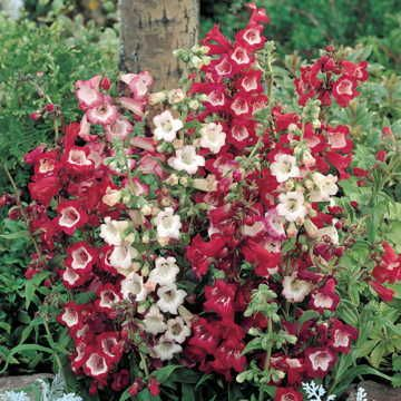 Image result for Esprit Mix Penstemon