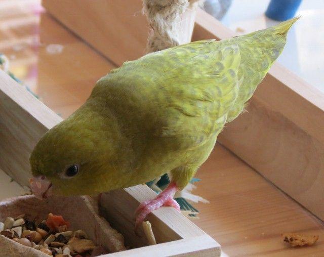Dilute Olive Lineolated Parakeet Hen Parakeet Birds Avian