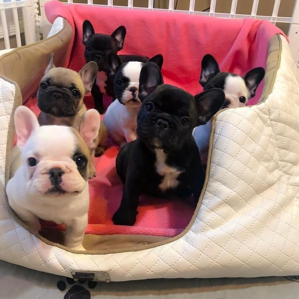 Help Your French Bulldog With Behavioral Problems French Bulldog