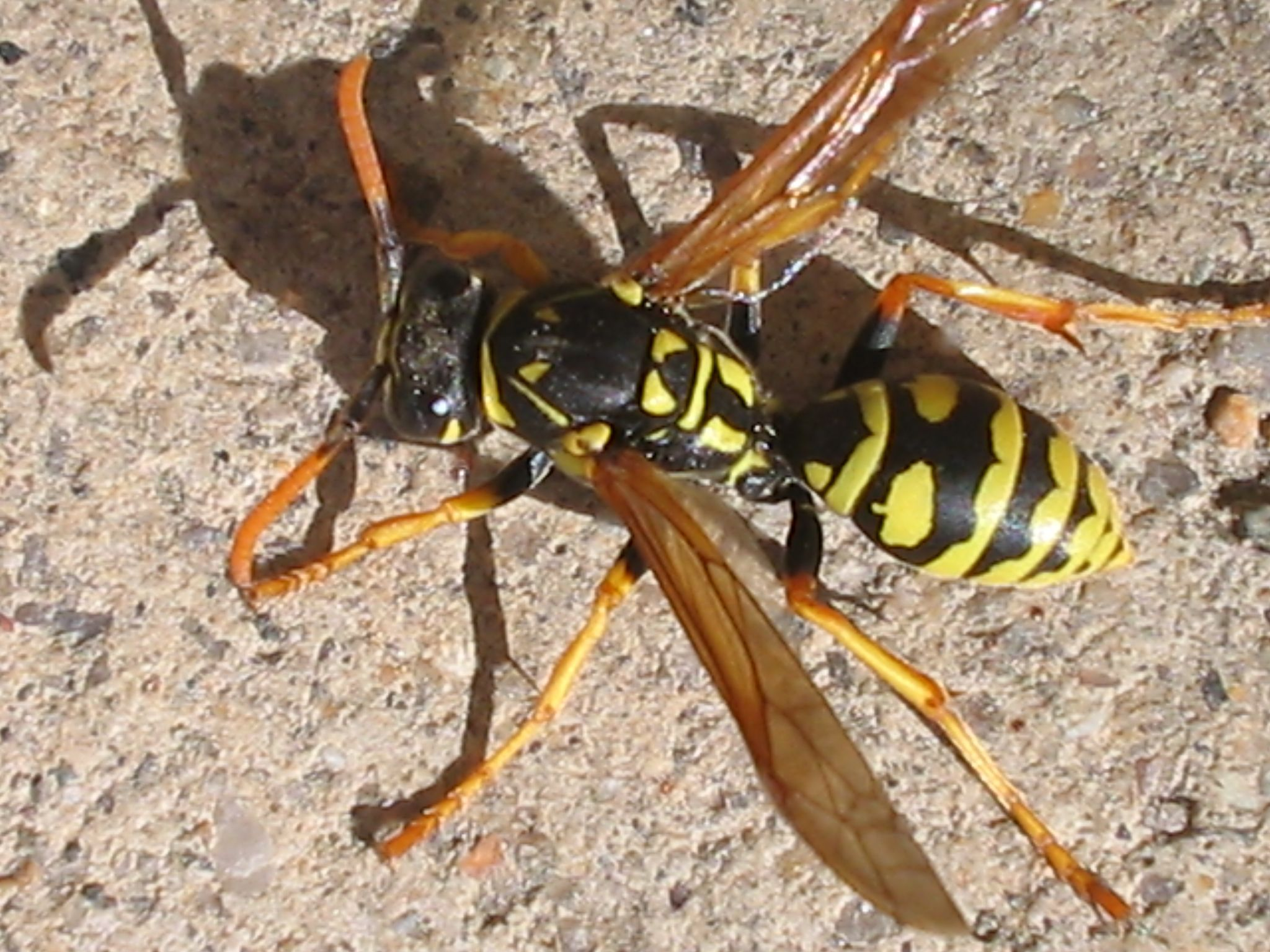 Yellow jackets ground hornets - Types Of Yellow Jackets 2 048 1 536 Pixels File Size
