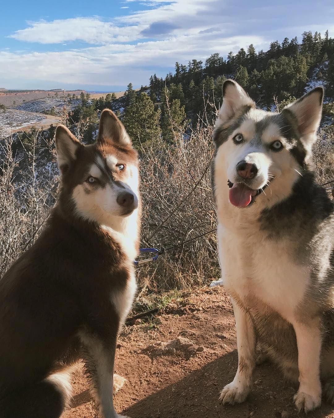 Intelligent Siberian Huskies Puppies Temperament