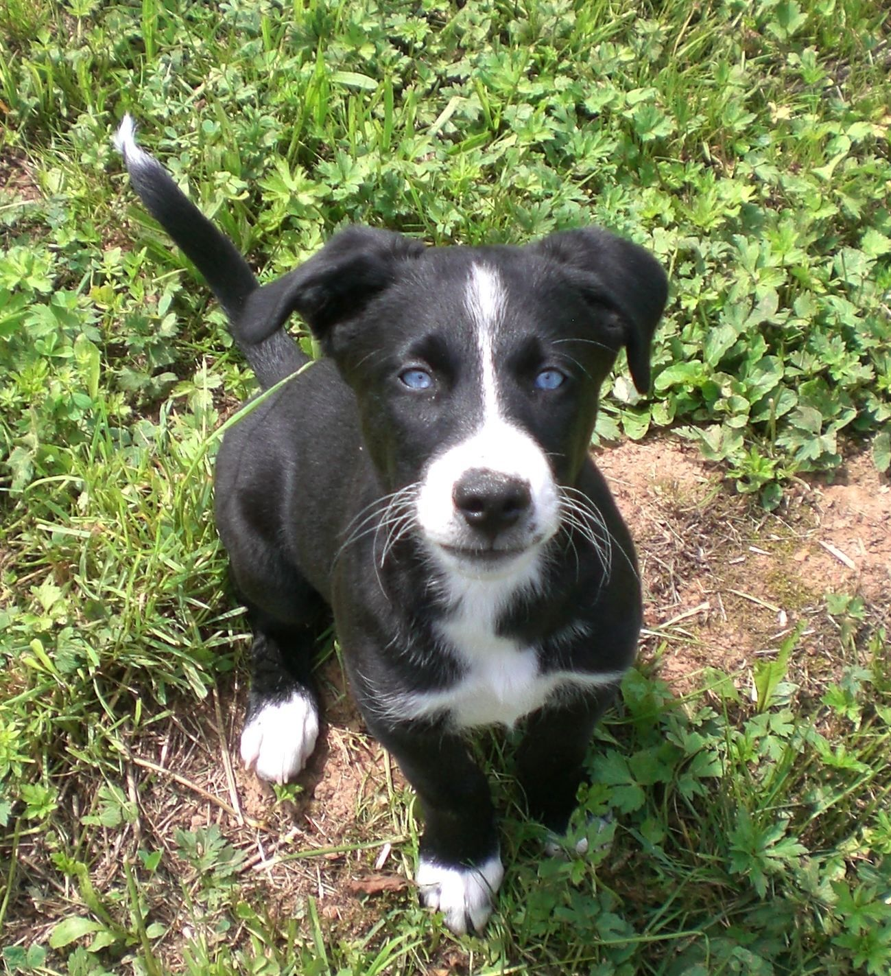 Lillifee Amerikanischer Staffordshire Terrier Labrador Siberian Husky Mischling Mix Pitbull Mischling Terrier Mischling Hundebabys