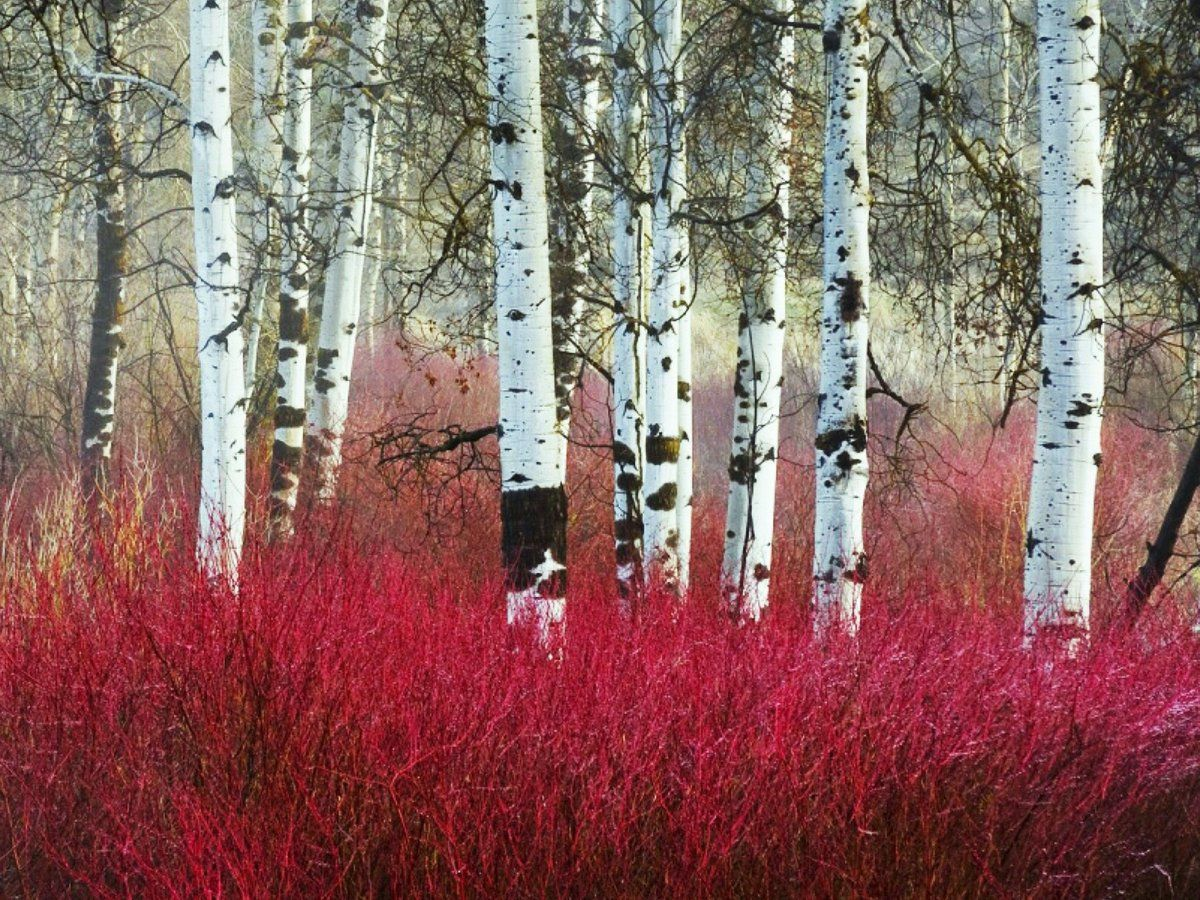 Birch Trees And Red Stemmed Dogwoods Birch Trees Garden