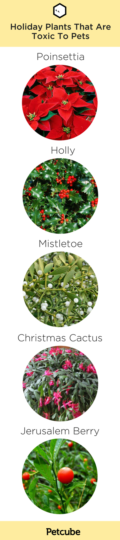 Holiday Plants Poisonous To Pets Poinsettias, Cactus