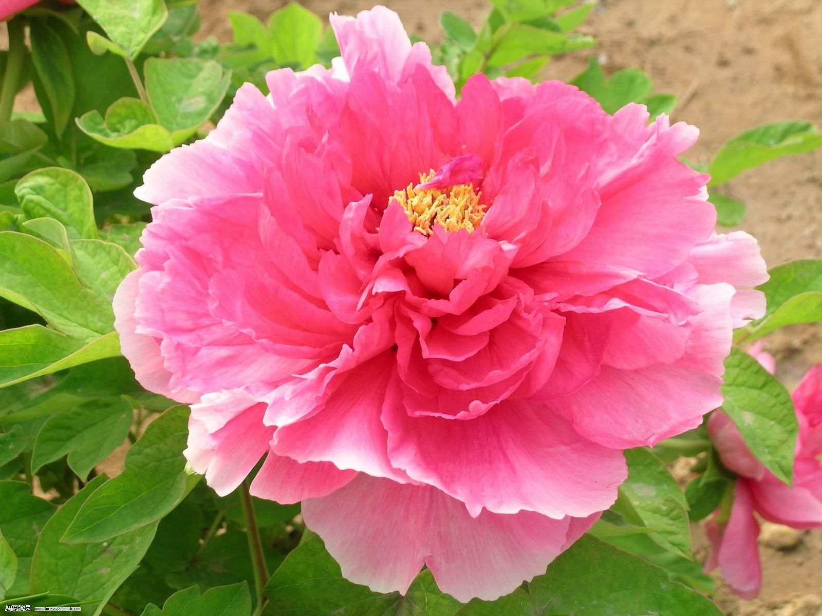 Flowers pictures pink peony flower 2f flower pictures flower flowers pictures pink peony flower 2f flower pictures dhlflorist Images