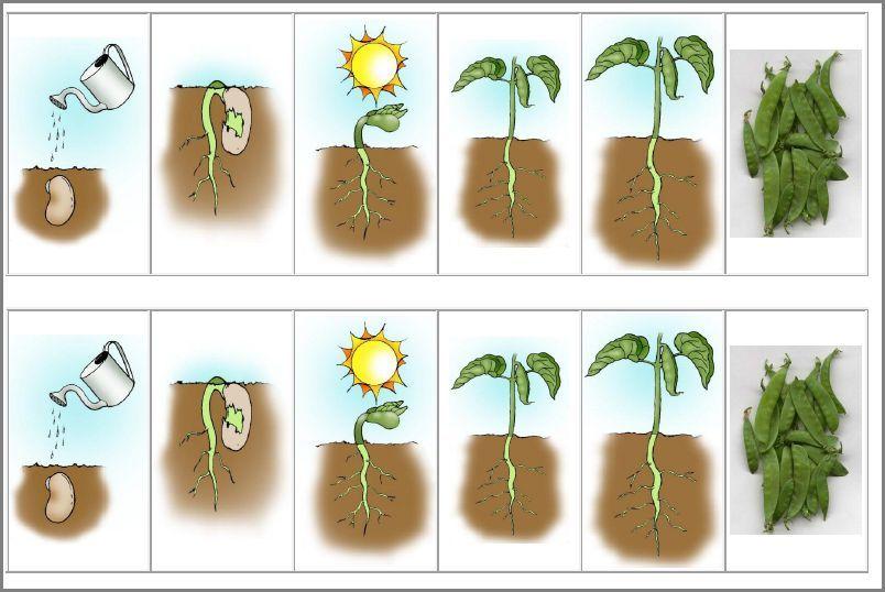 много рост семян картинки сильный надежный