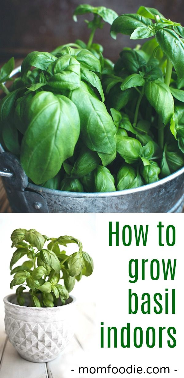 How to grow basil indoors - Tips for growing basil indoors ...