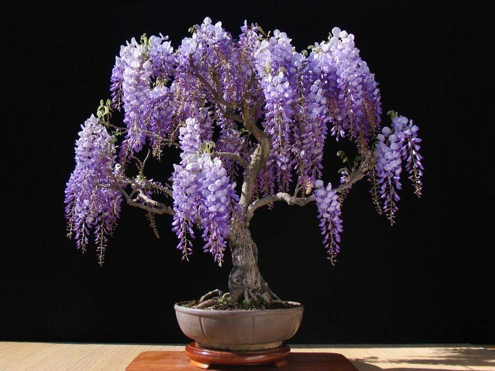 Wisteria Tree Bonsai 5 Rare Viable Seeds Beautiful Purple Flowers Perennial Tree Wisteria Bonsai Wisteria Tree Bonsai Tree Types