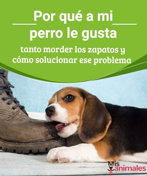 Por qué a mi perro le gusta tanto morder los zapatos y cómo solucionar ese problema Es frustrante llegar a casa y ver que tu perro ha hecho algunos destrozos, te explicamos por qué le gusta a tu perro morder los zapatos y cómo solucionarlo. #morder #zapatos #problema #consejos