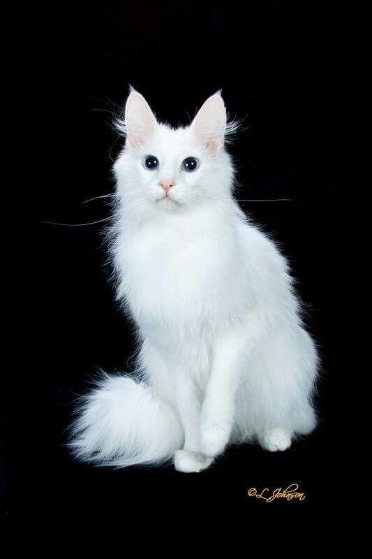 e7d7347021dced Turkish Angora. Turkish Angora Pedigree Cats ...