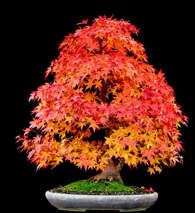 I Think The First Bonsai I D Like To Try Cultivating Is A Japanese