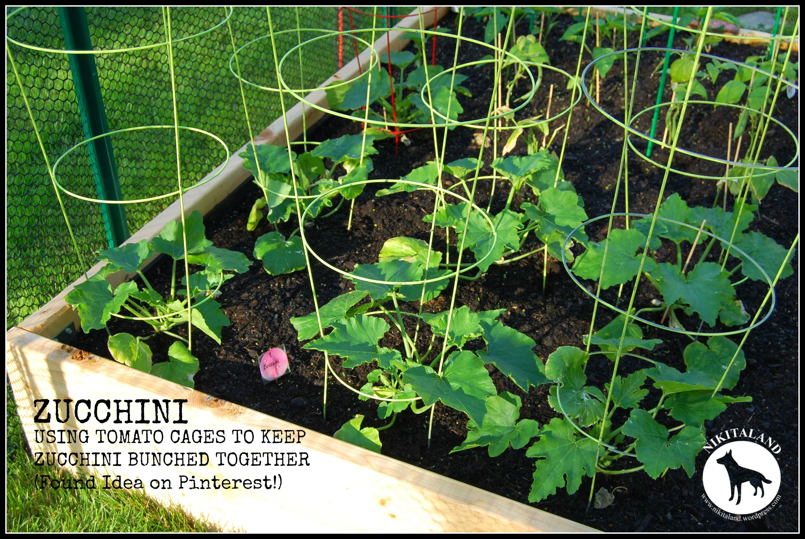 Use Tomato Cage To Growing Zucchini Vertically Requires 400 x 300